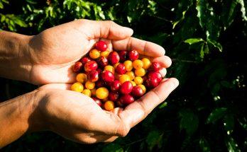 A cadeia produtiva do café em pauta