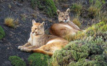 Rede Tierra Hotels lança informativo sobre os pumas