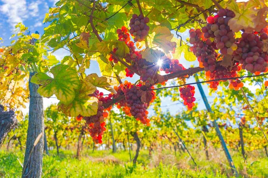 rota do vinho mexicano passa pela Baja California