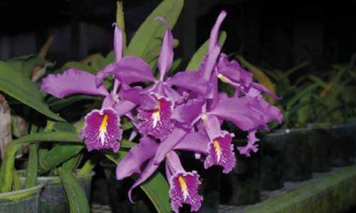Orquídeas ameaçadas no Peru